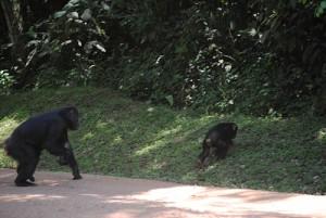 chimps road crossing