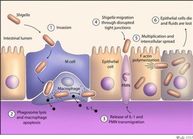 salmonella description pathogenesis symptoms essay Life cycle the salmonella bacteria has an interesting life cycle  causing a variety of symptoms.