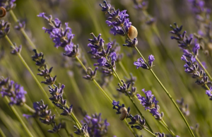 repel-mosquitoes-naturally-herbally-lavender