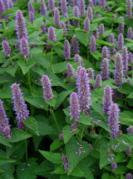 Tips for Growing Anise Hyssop Plants The Gazette Review