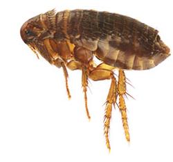 naturally-repel-fleas-herb