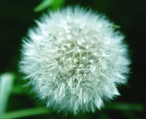 wart-remedies-cures-dandelion-natural