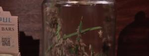 Chapul' crickets