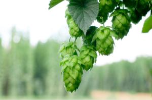 hops-valium-alternative