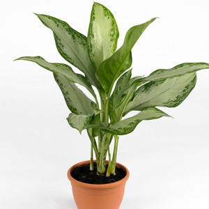 febreze-alternative-chinese-evergreen
