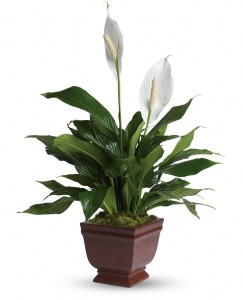 febreze-alternative-peace-lily
