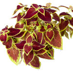 ingredient-coleus