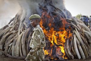 While not mentioned, environmental crimes such as poaching fuel international militant groups present in the country. Here, a soldier is passing by an ivory pyre, ensuring the tusks will not be used to fund violence.