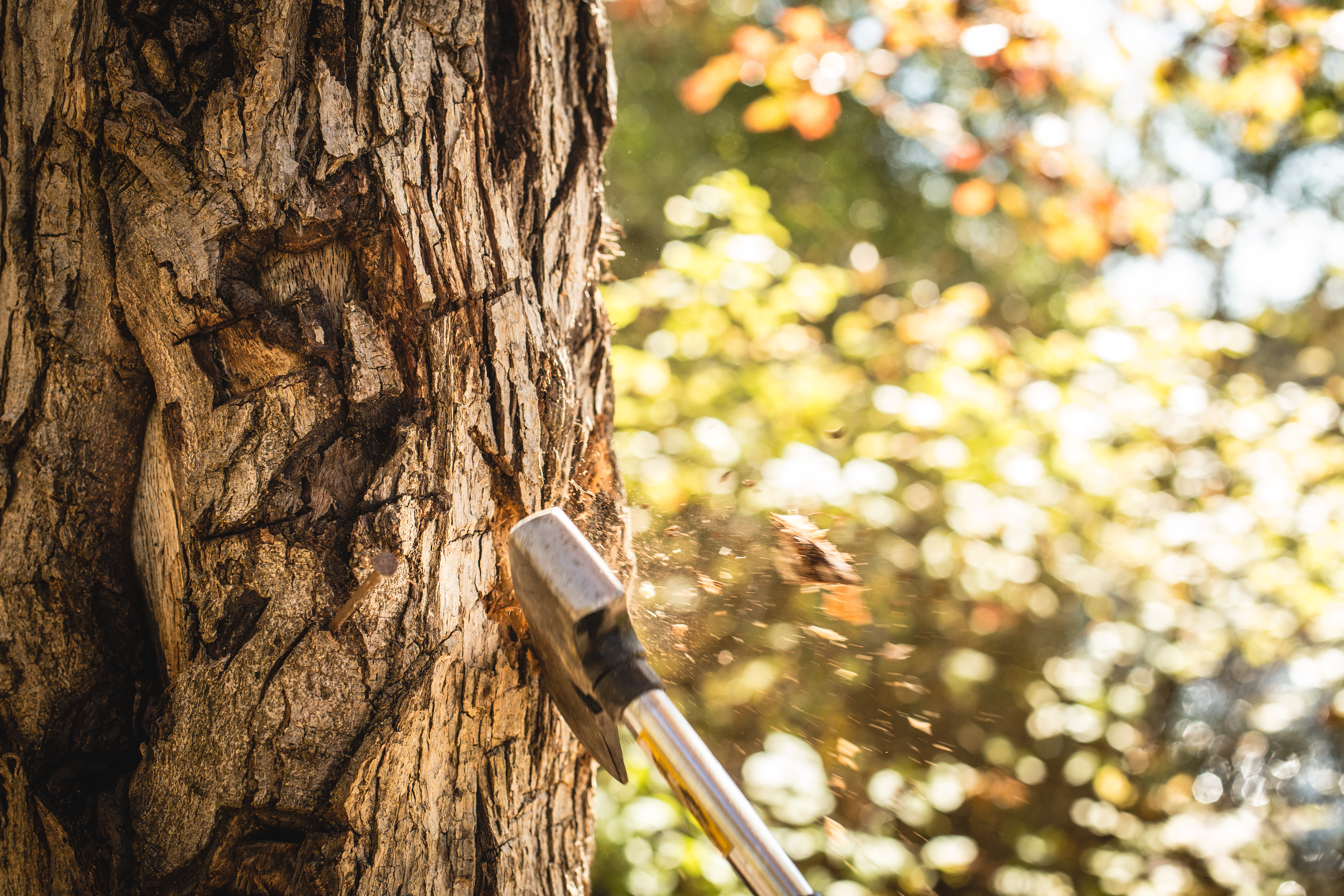 Sharp axe strikes a tree with sunny fall foliage in the background