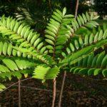Tongkat_Ali_(Eurycoma_longifolia)_1