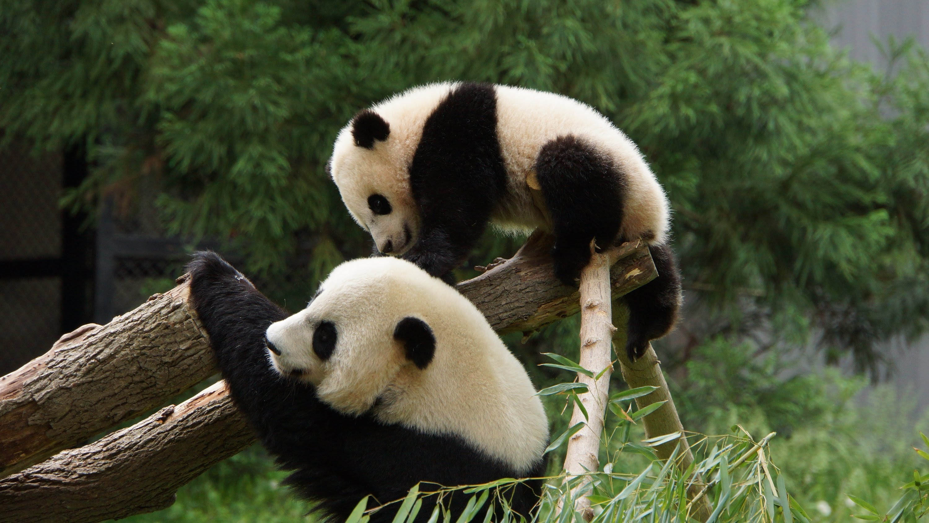 Where To Go To See A Giant Panda In The US