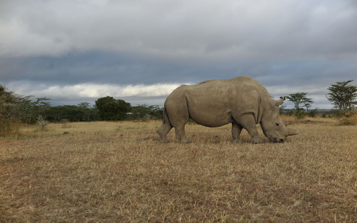 It is not easy for some people to find love but when you're the last male  northern white rhino in the world, it is even more difficult.