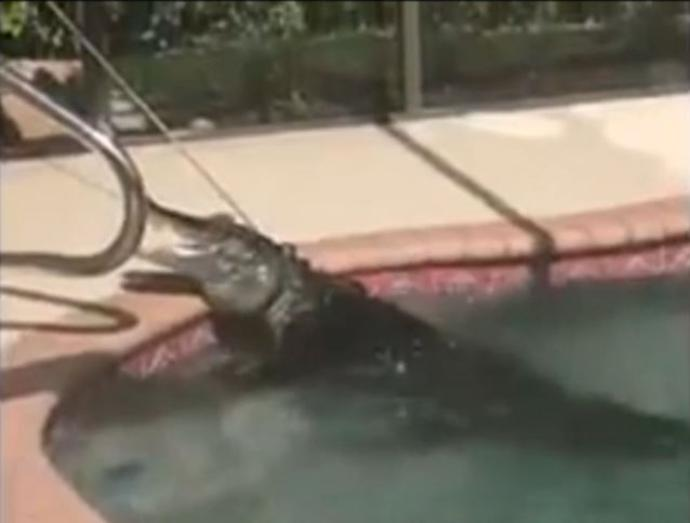 Florida Alligator Found At The Bottom Of A Swimming Pool Gazette Review