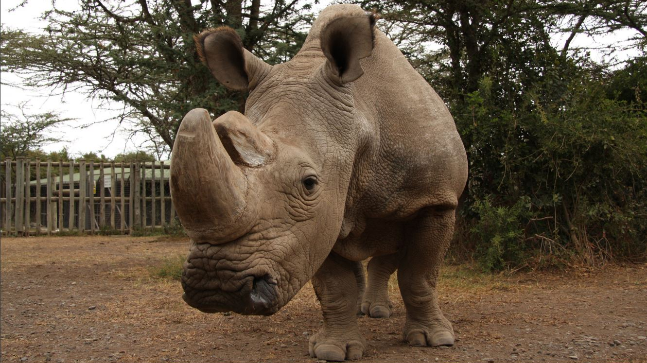 World's last male white rhino dies, leaving future of species in doubt