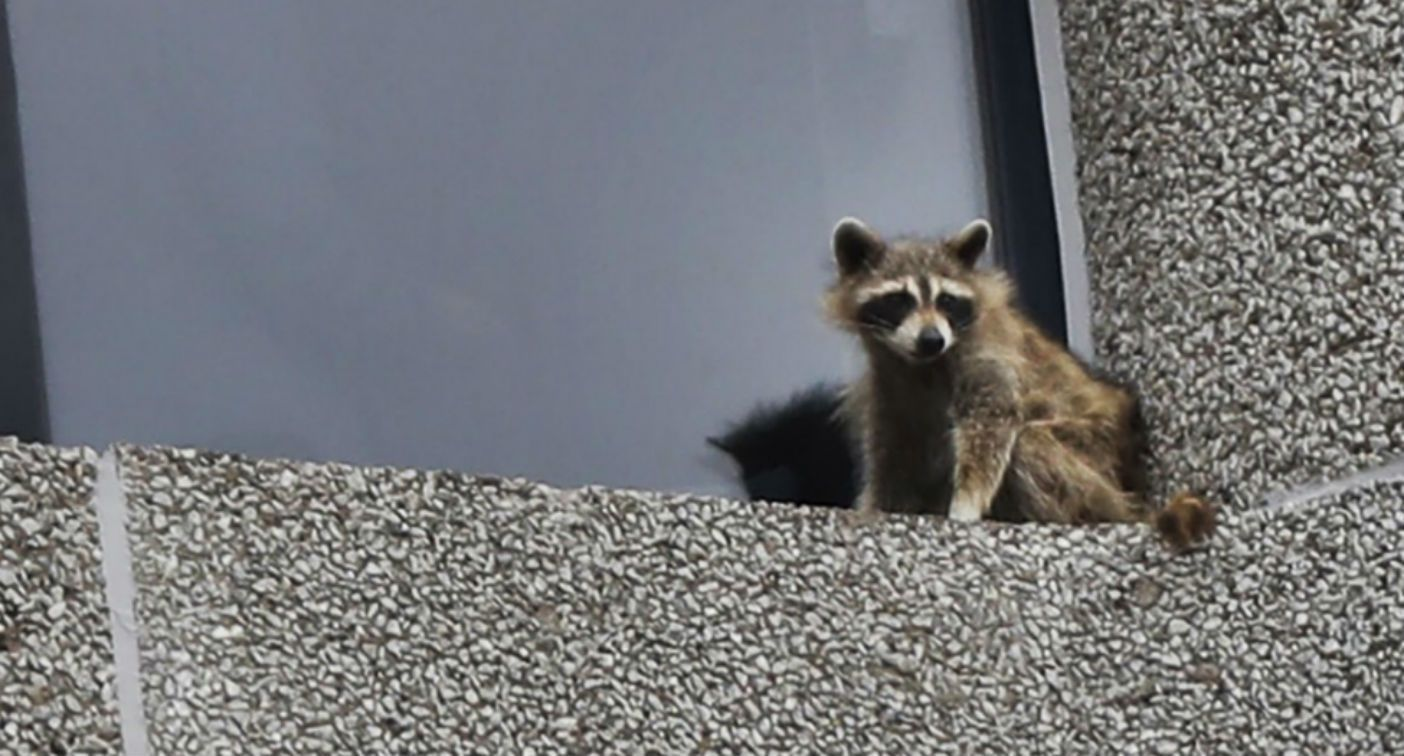 Paul raccoon safely trapped on tower roof