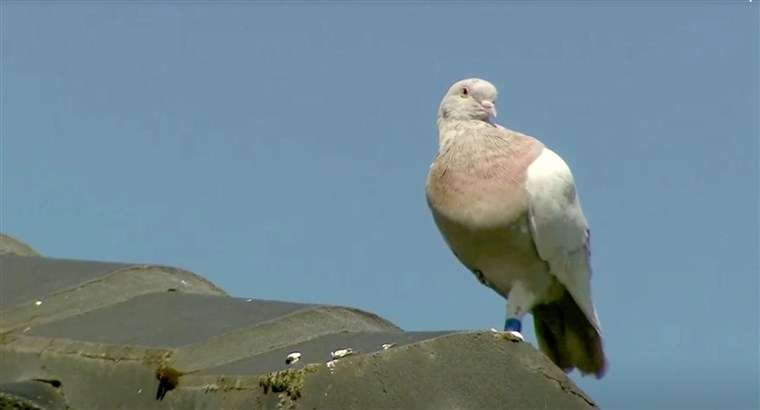 Australia to kill racing pigeon that survived 13,000km journey from US